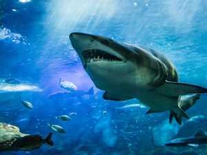 Shark debate: group to discuss bringing drumlines back
