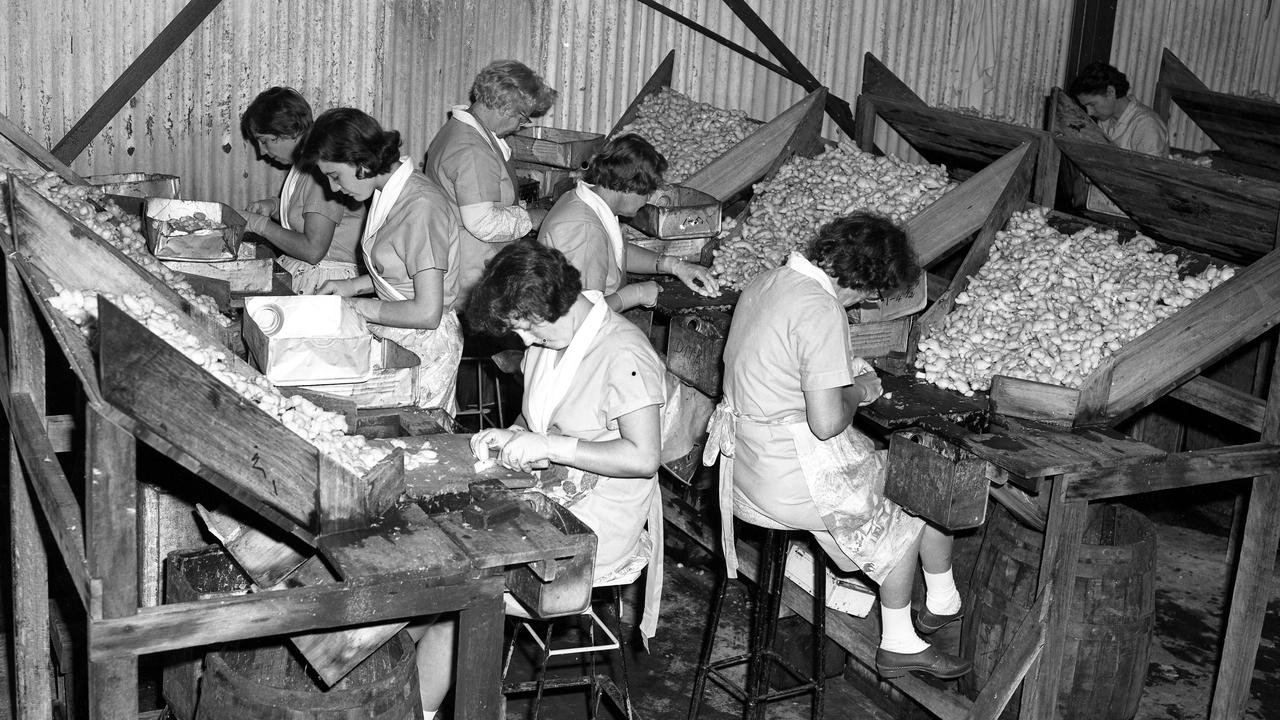 Women cutting ginger at the Buderim Ginger Factory, Buderim, 1965. In the factory women sat at tables where the brined ginger was scraped, cut and sorted into drums under the table or containers on the table.