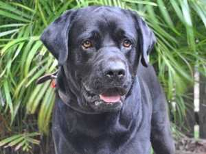 Jack the lab bounces back from owner's death