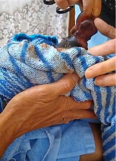 Miley the injured baby platypus was found near Six Mile after having a fishing line tangled around its neck on Sunday morning