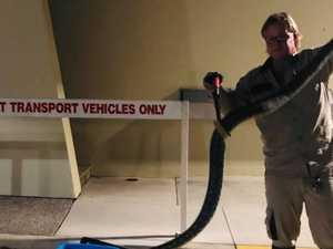 HANGRY? Snake catcher nabs three-metre bat-munching python