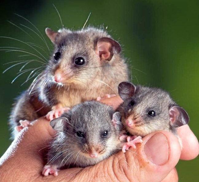 The mountain pygmy possum is one of the species identified at being at serious risk of extinction.