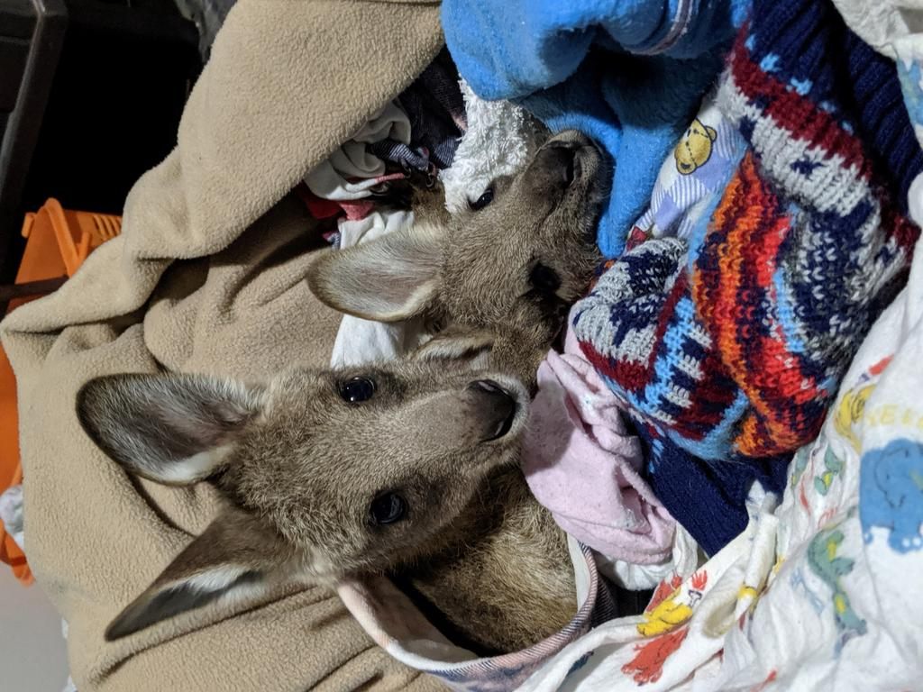Two of the joeys that survived the horrifying ordeal. Source: Janine Green
