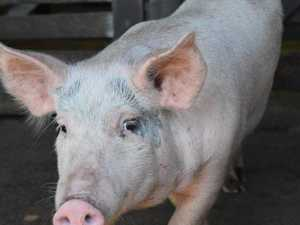 Fears swine fever will hit Australia