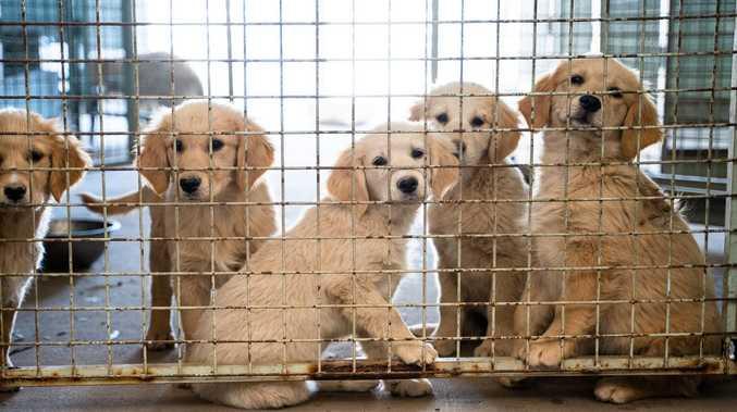 Corgi lovers unite to help dozens of dogs