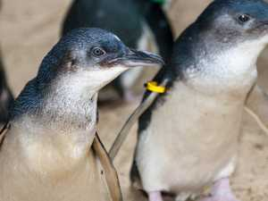 Little penguins waddle into Coast for first time