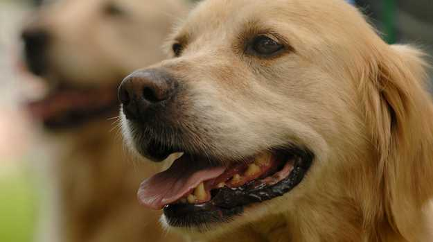 Generic images of golden retriever dogs. Pet, pant, canine.