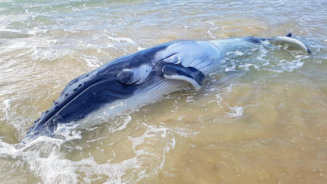 BEACHED: A whale stranded on Fraser Island in August was put down after a rescue attempt.