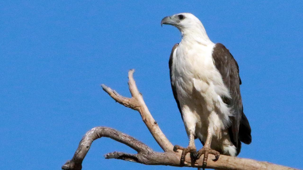 Briggsy S Birds Majestic Sea Eagle Graces Our Skies Observer