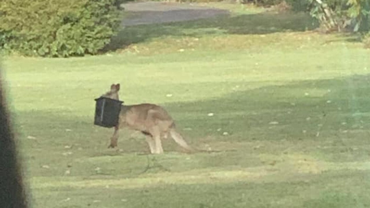 A kangaroo with a bucket on its head has been spotted in Noosa. Photo: William Watson/Facebook