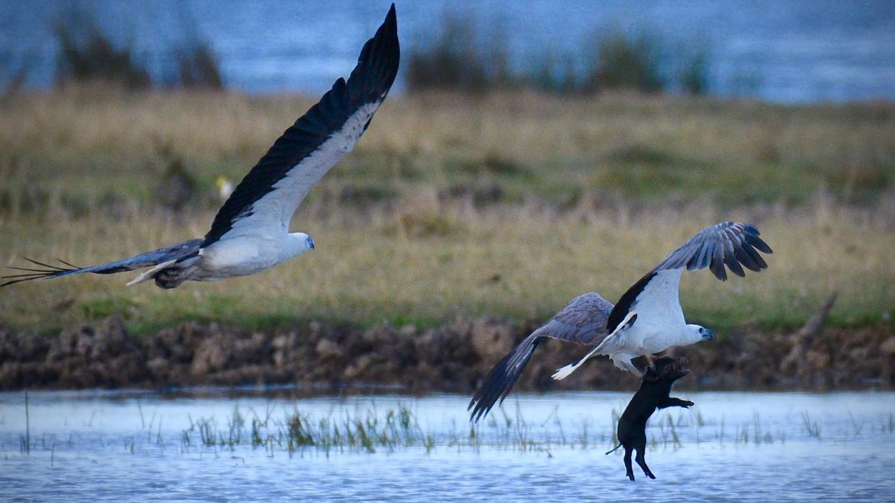Photographer Clarke Espie photographed the moment a sea eagle picked up and took off with a young feral pig at the Cromarty Wetlands near Mt Elliot south of Townsville. Photo: Clarke Espie