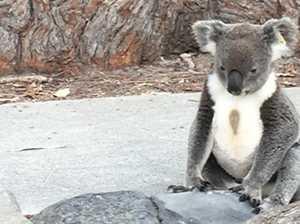 Rescuers heartbroken over death of popular koala