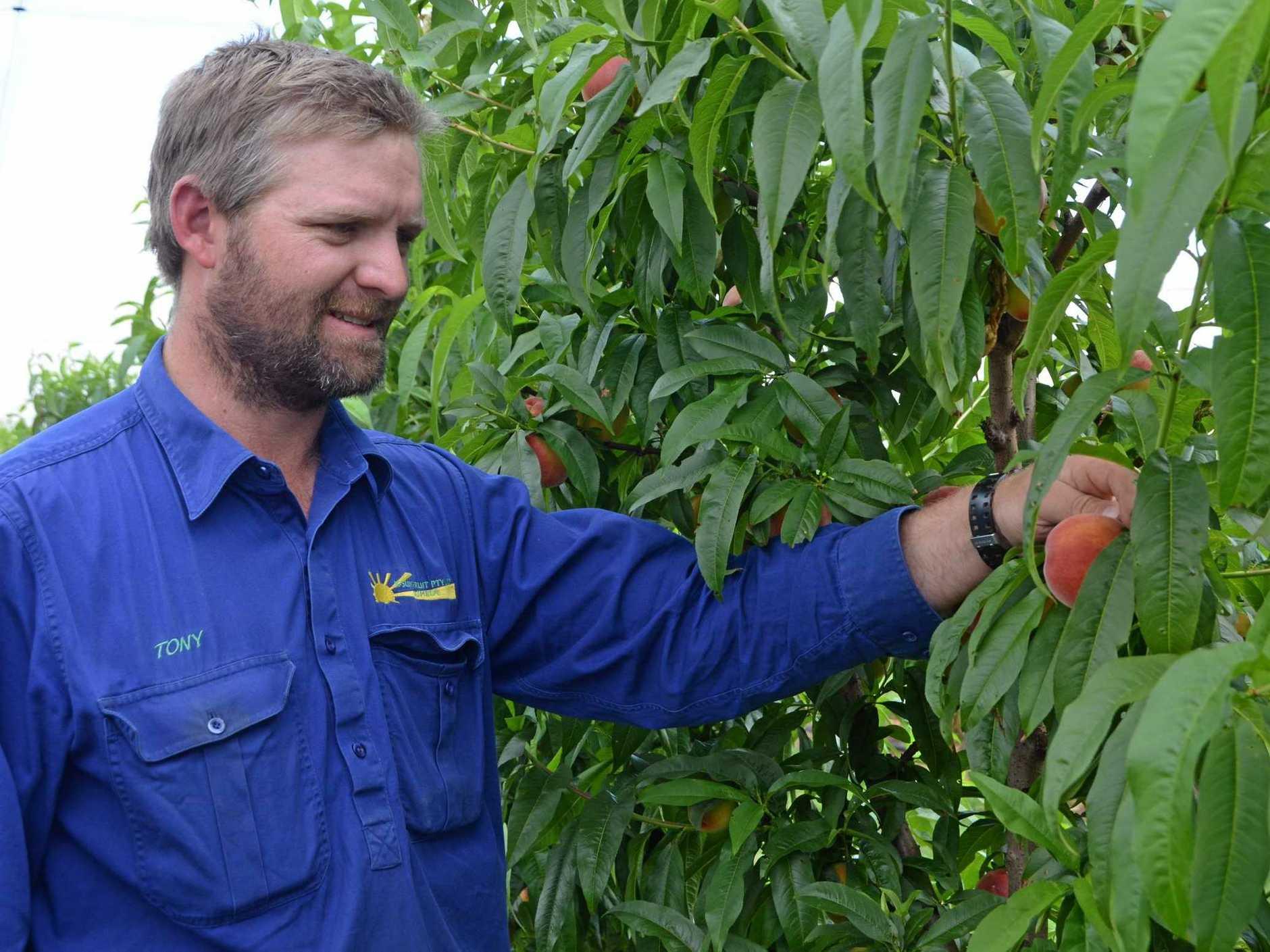 STONE FRUIT SEASON: Tony Dugdell is proud of the fruit produced this season.