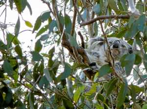 Cookie the koala safely returned to wild