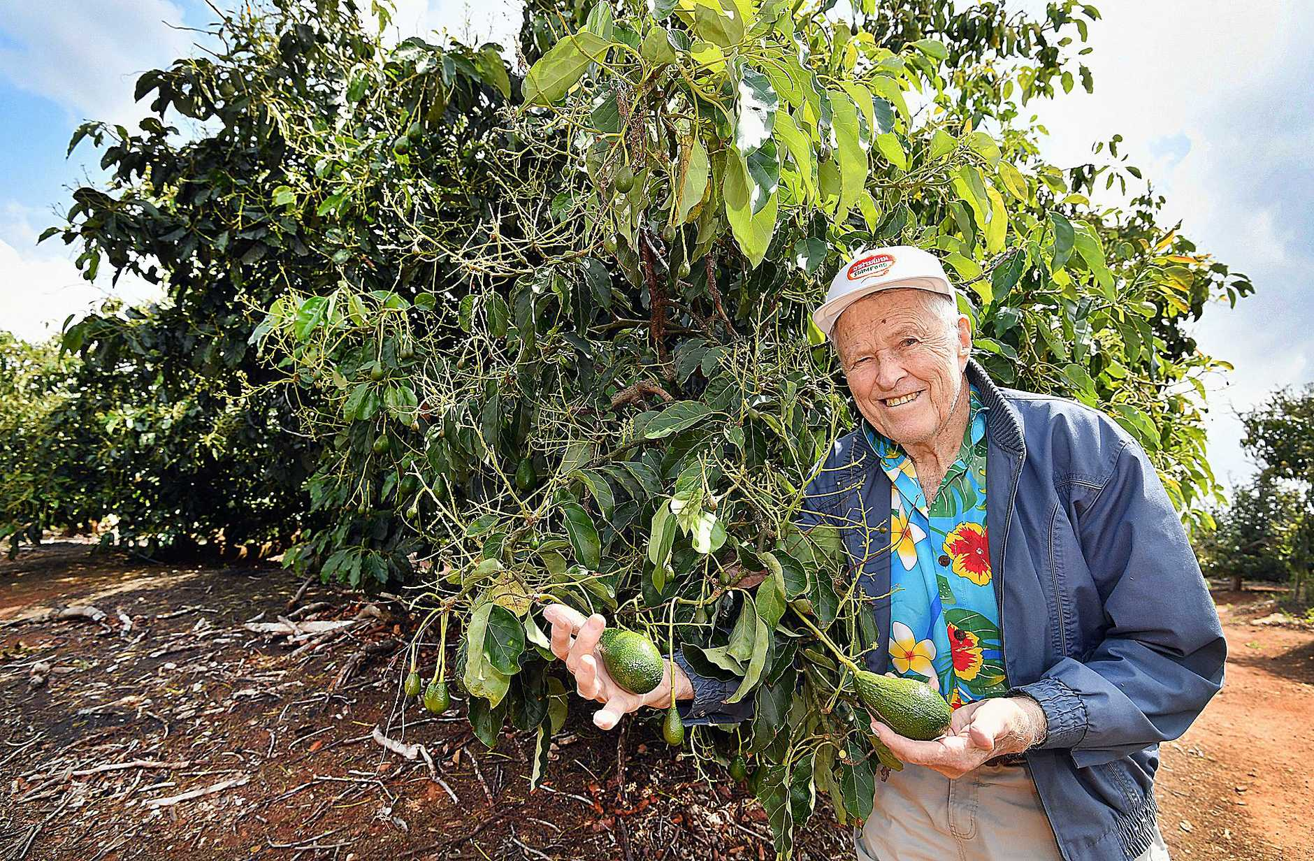 Yengarie storm damage one year on - farmer John Atkinson with his avocado trees starting to bear fruit after they were stripped bare 12 months earlier.