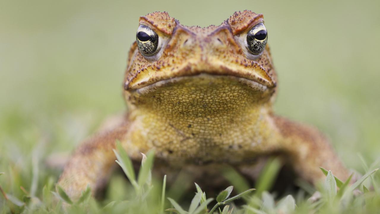 Scientists have come up with an interesting way for cane toads to wipe themselves out.