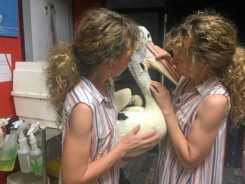 HARD FIGHT: Ollie the Amamoor pelican recovers from a serious wound, with the help of the Sunshine Coast based Twinnies pelican rescue and its carers, Bridgette and Paula Powers.