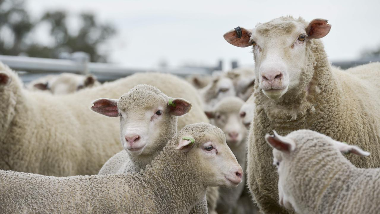 People aren't sheep, or are they? Photo: DANNIKA BONSER