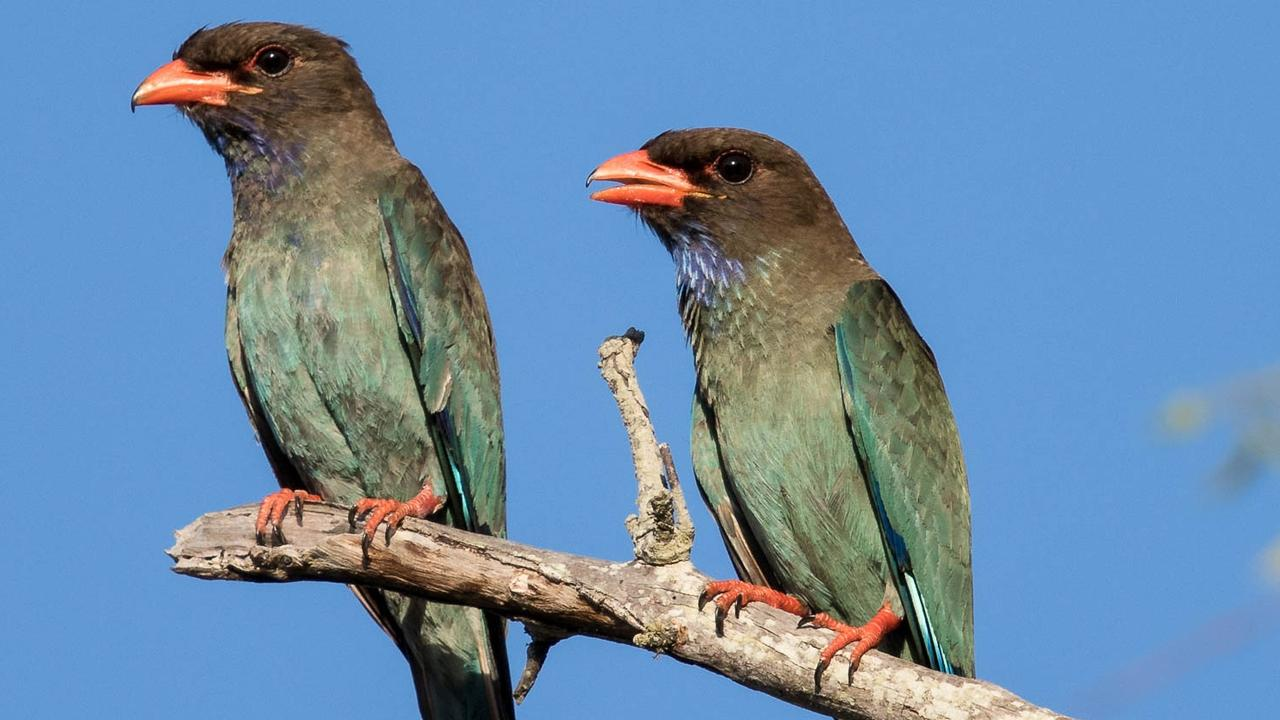 A pair of dollarbirds.