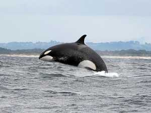'INCREDIBLE': 30+ killer whales surround boat