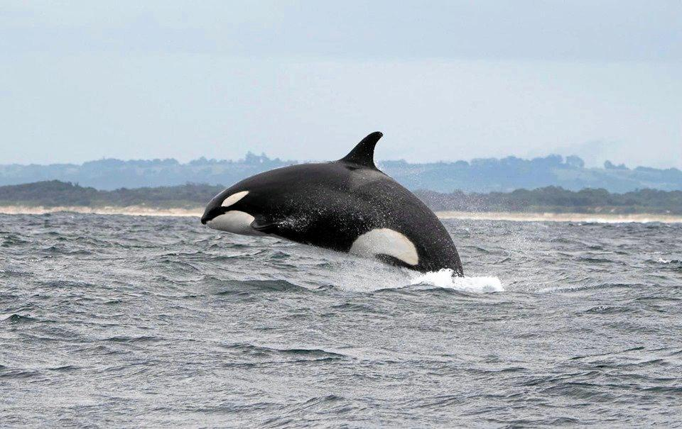 Out of the Blue Adventures captured incredible images and footage of killer whales off Ballina.