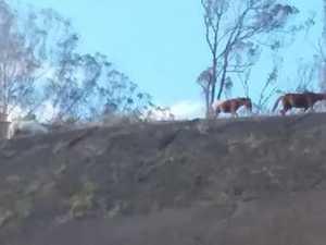 Wild horses threaten Toowoomba Bypass traffic