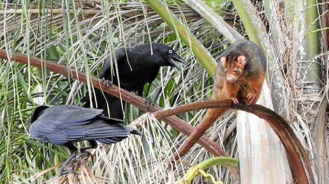 WATCH: Crows v possum in loud Gympie neighbourhood dispute