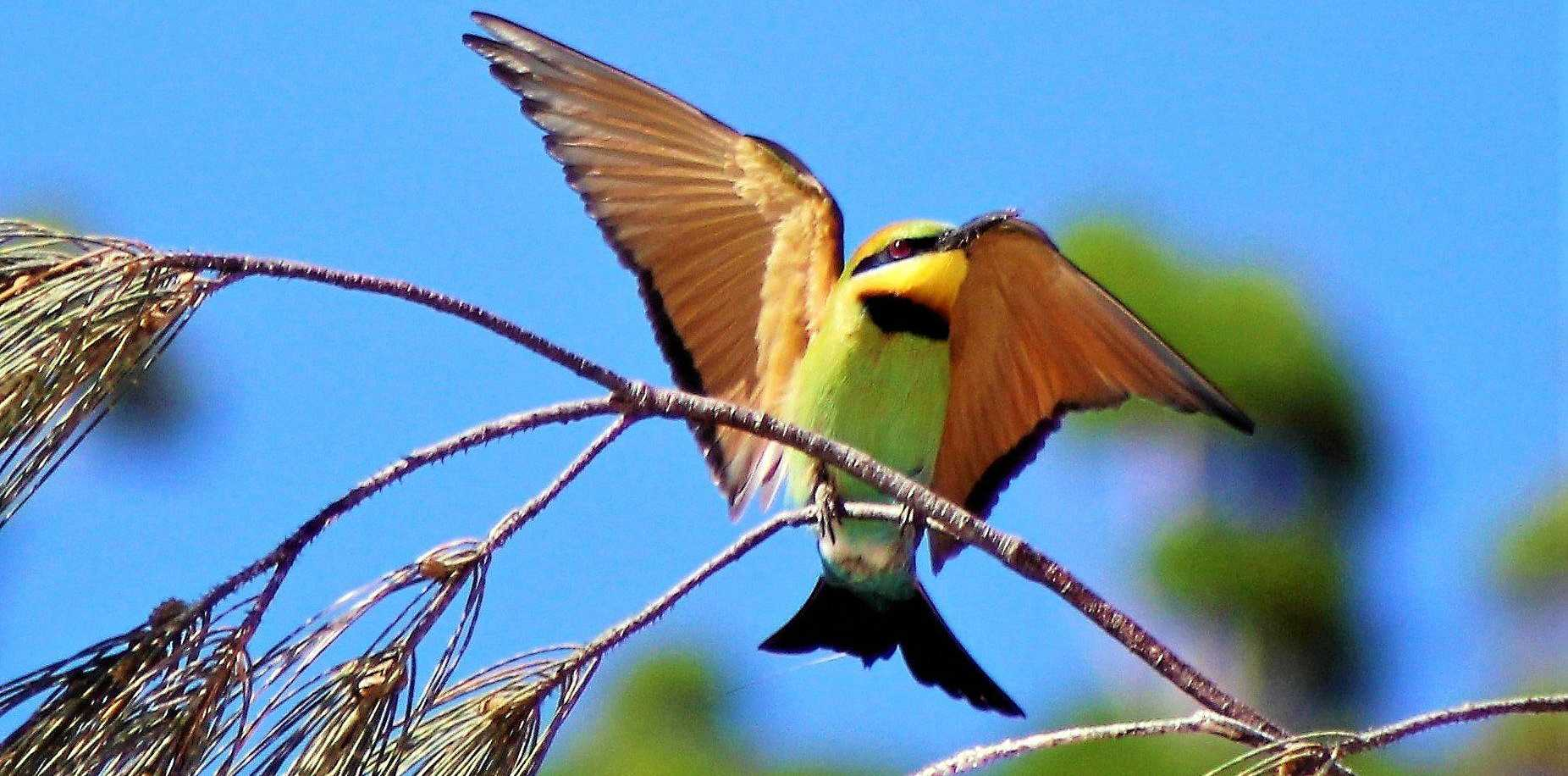 LOOK OUT: A rainbow bee eater ready for flight.