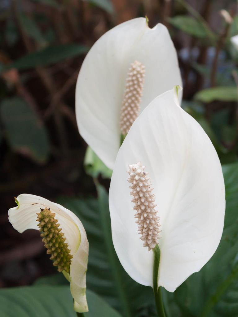 Flowers on a Peace Lily.