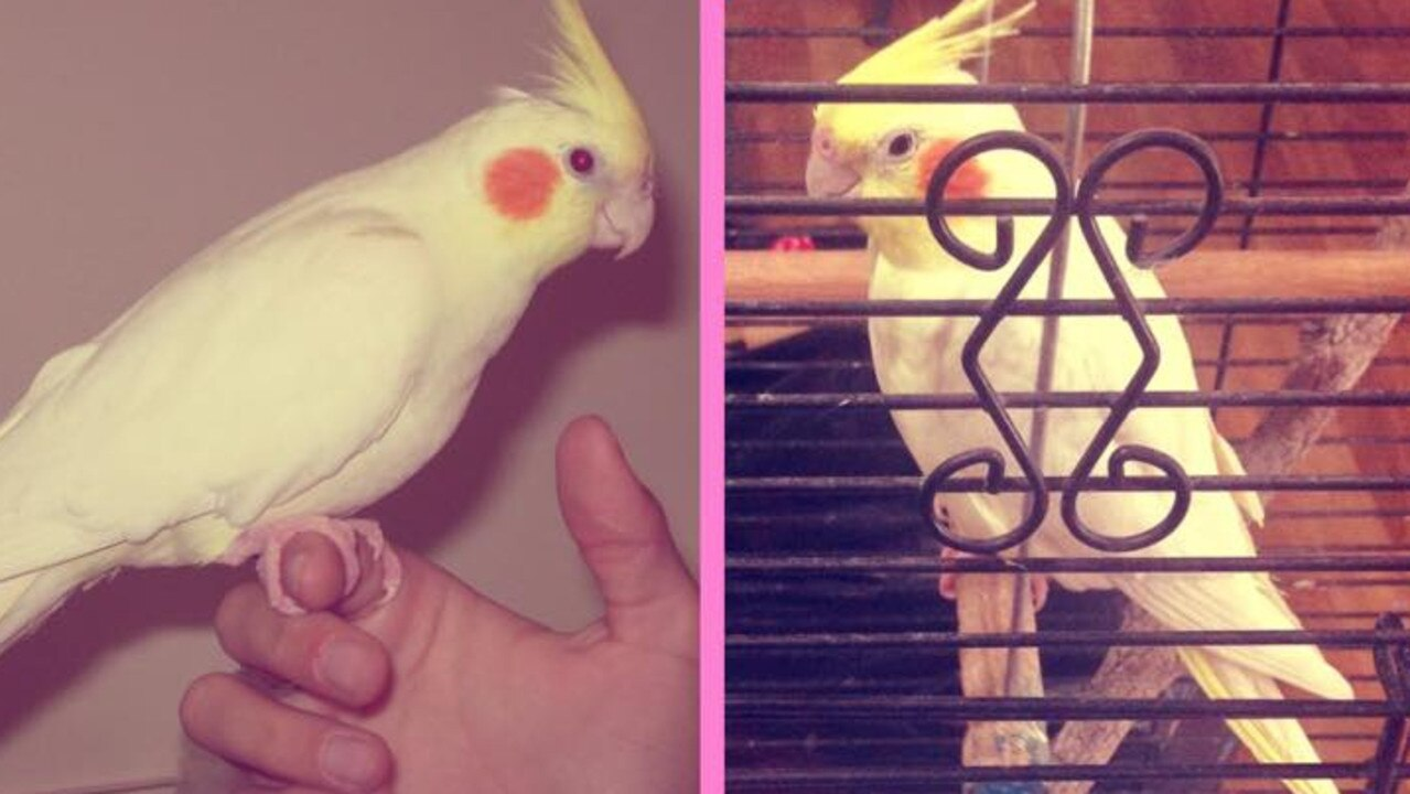 FEATHER BABY: Jordie Lynch's beloved cockatiel Kirby passed away recently.