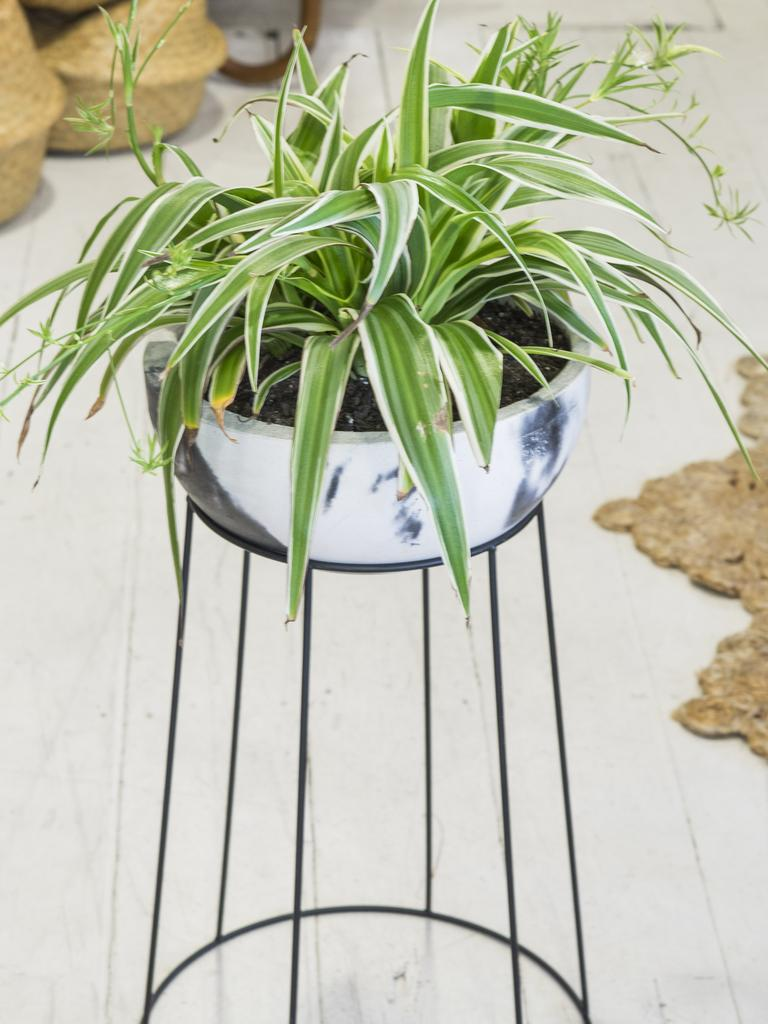 The Chlorophytum Comosum — more commonly known as a Spider Plant.