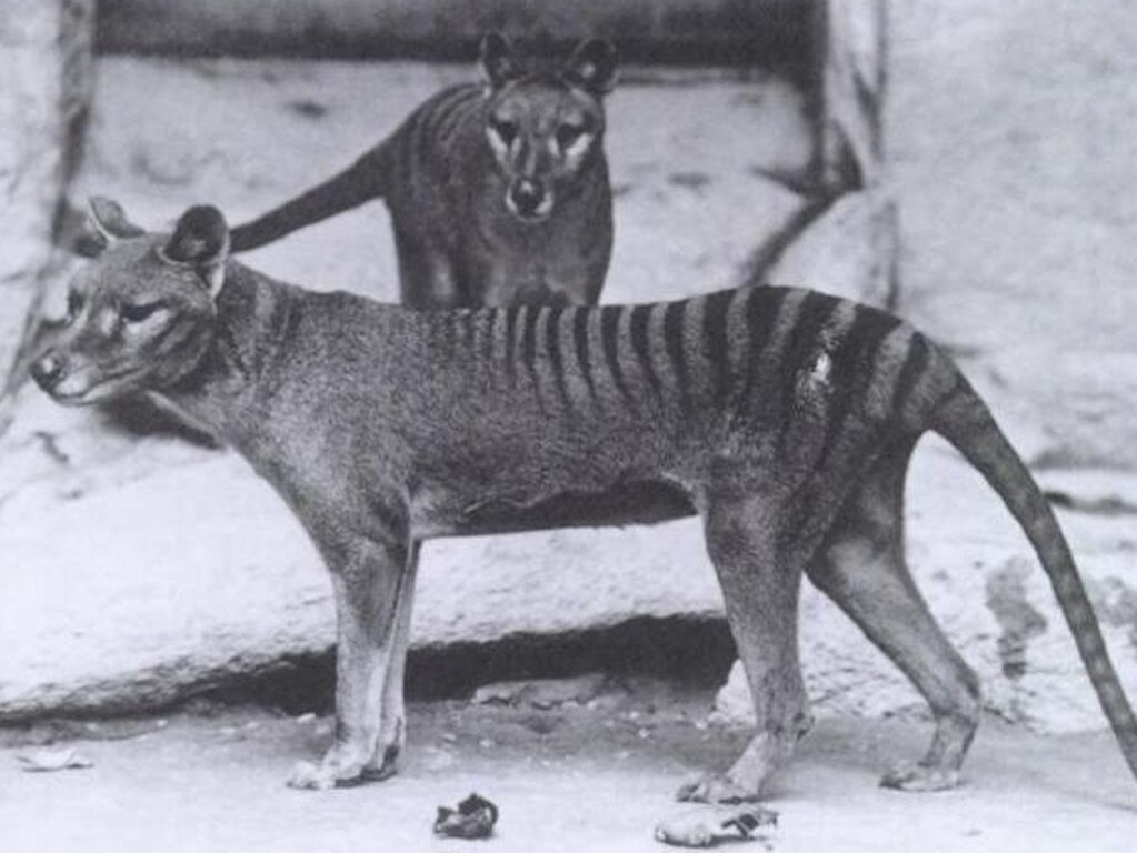 Is the Tasmanian tiger, or thylacine, making a comeback in the wild?