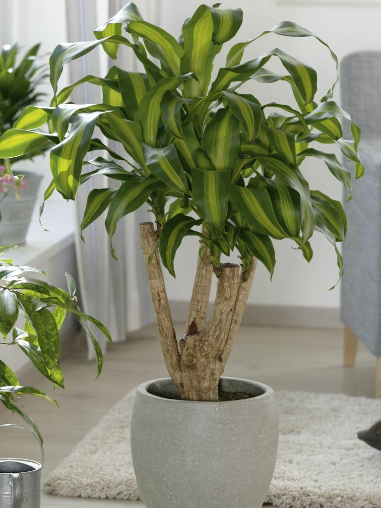 The Dracaena Massangeana — also known as a Dragon Tree.