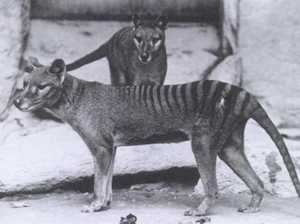 Is the Tasmanian tiger still out there?