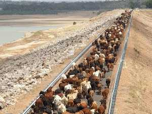 SPECTACULAR IMAGES: 1,500 cattle cross the Fairbairn Dam