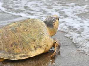 WATCH: Emotional moment rare turtle released back to ocean