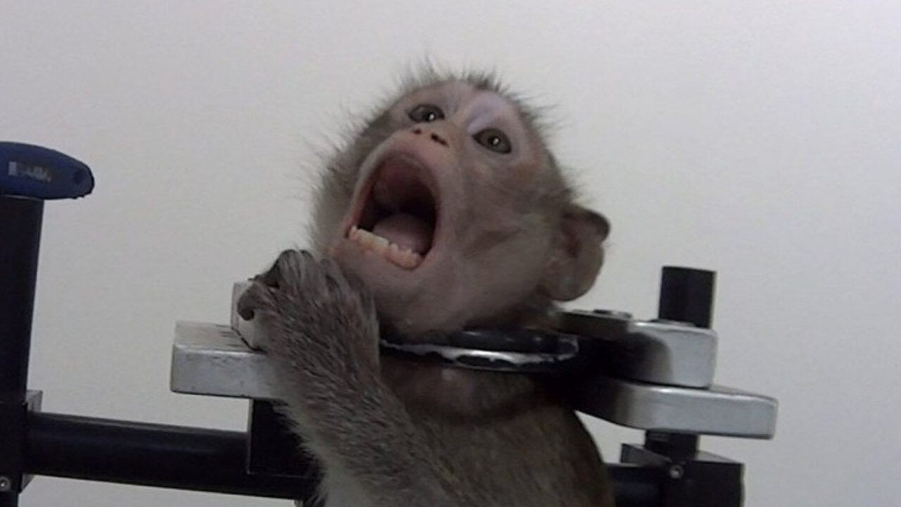 The footage was captured at a lab in Germany. Picture: SOKO Tierschutz/Cruelty Free International