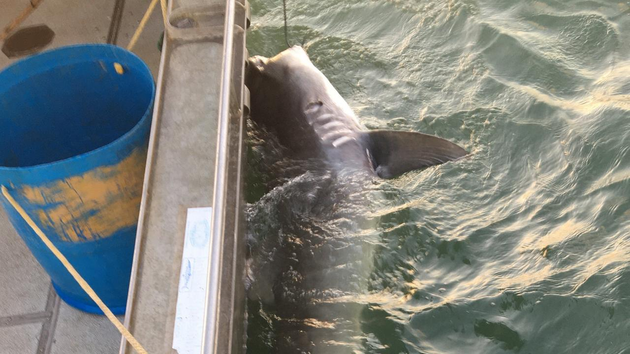Tiger shark caught off Townsville this week.