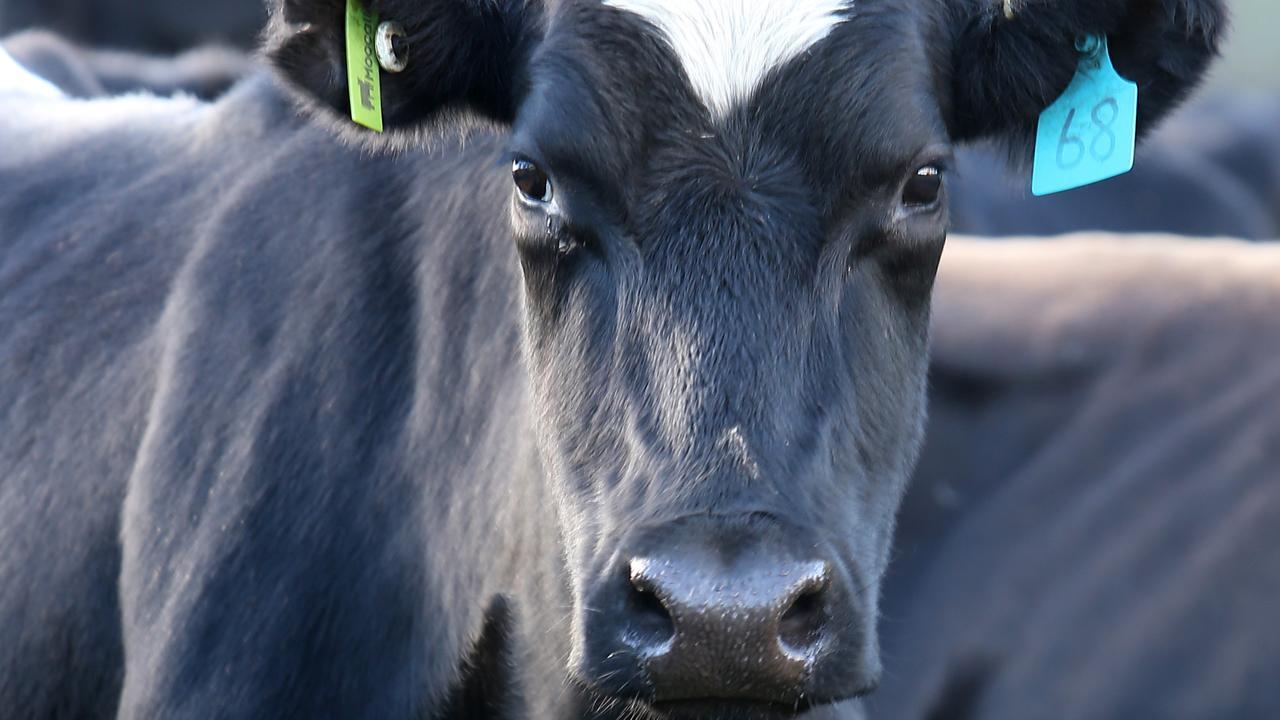 A dairy cow. Picture Yuri Kouzmin