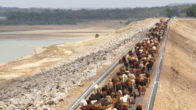 SPECTACULAR IMAGES: 1,500 cattle cross the Fairbairn Dam