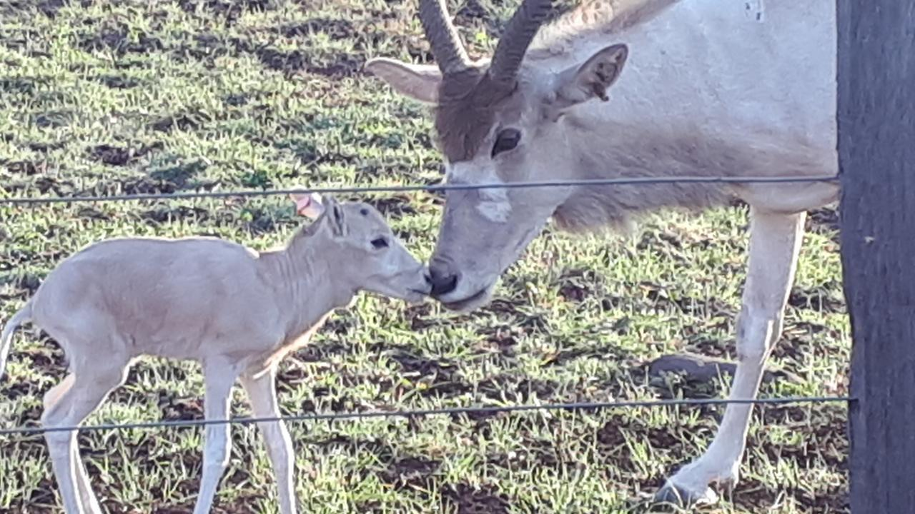 The Darling Downs Zoo welcomed its latest addition. A female addax. These rare North African antelope are on the verge of extinction in the wild.