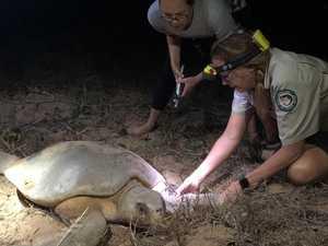 Surprising twist to first turtle breeding, watch the video
