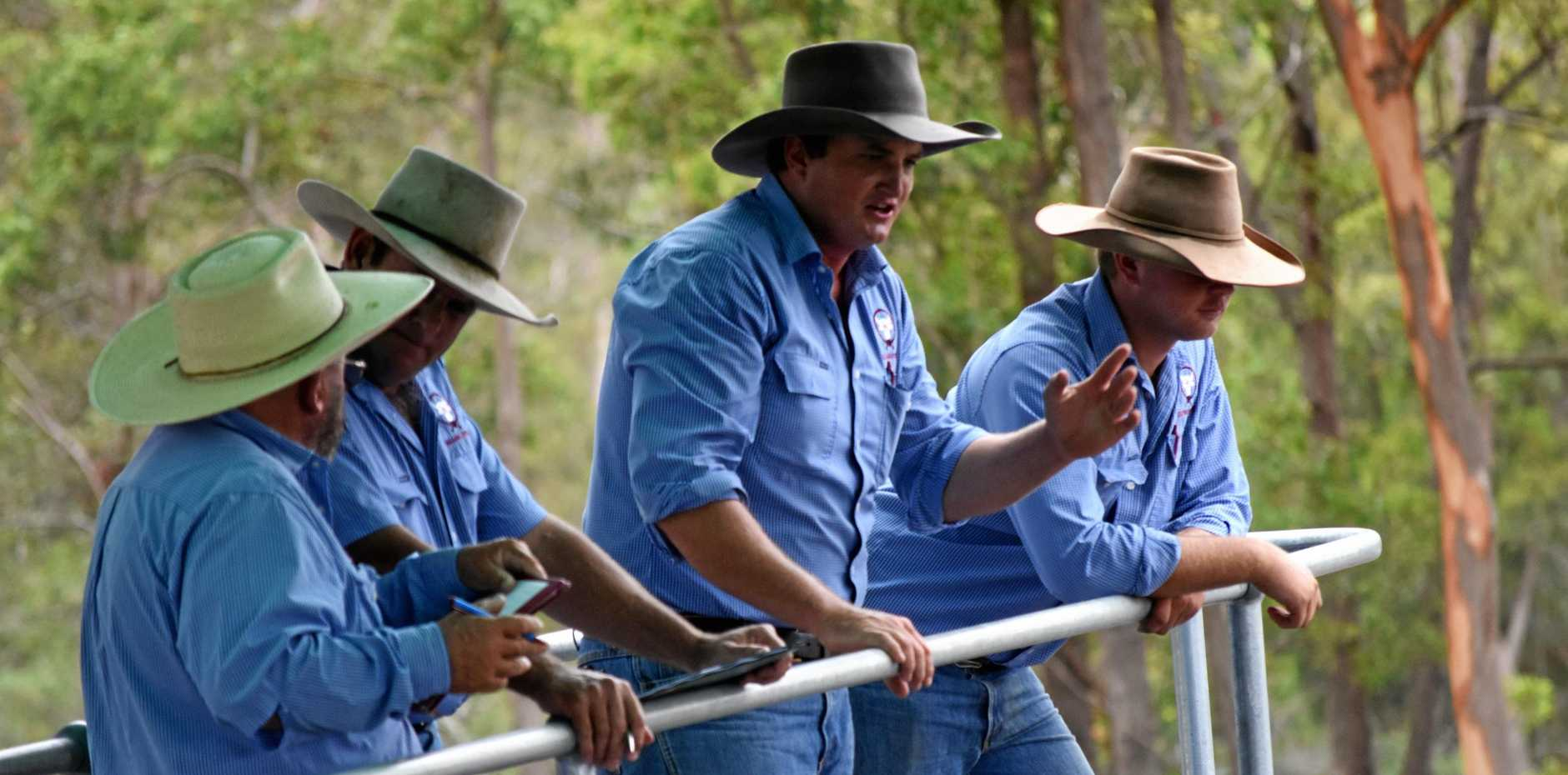 The Gympie Saleyards in action.