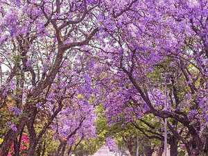 WHAT'S ON: 60+ Jacaranda Festival events