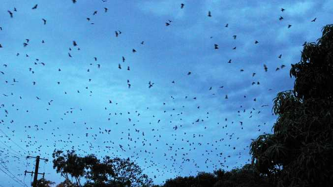 Monto goes to war against flying fox invasion