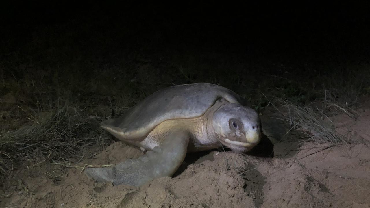 TURTLE SEASON: The world's most studied turtle makes its way to shore to get a head start on breeding season.