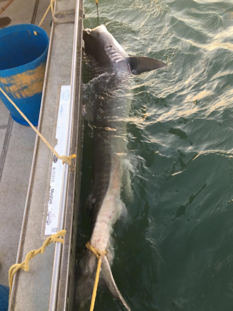 SHARK PROTECTION: A timely reminder of the shark protection provided by drum lines after a 4m Tiger shark was caught off Townsville this week.