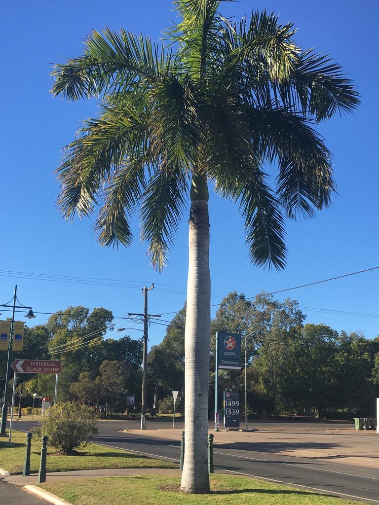 Roystonia regia palm.