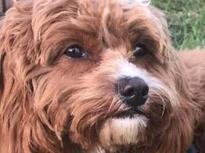 'Barking mad' decision to ban cavoodle