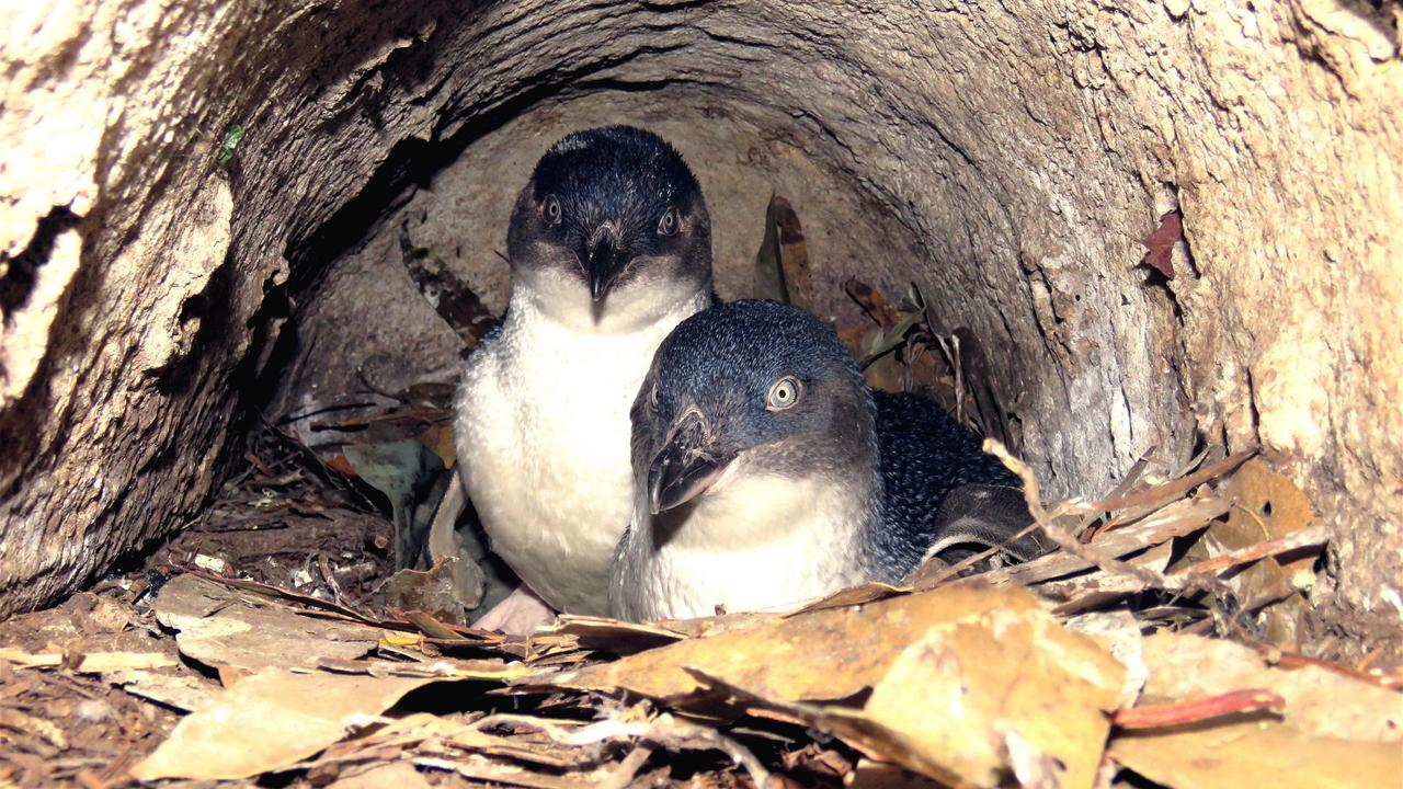 Little penguins in a nest in Hobart. Picture: FERNANDO ARCE